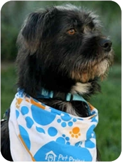 Kerry Blue Terrier Mix Dog for adoption in San Clemente, California - HARVEY