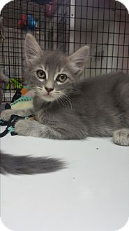 Domestic Mediumhair Kitten for adoption in yuba city, California - Juno