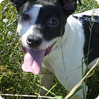Rat Terrier Mix Dog for adoption in Cleveland, Mississippi - JASMINE