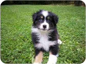 Australian Shepherd Puppy for adoption in Savannah, Georgia - Gizmo