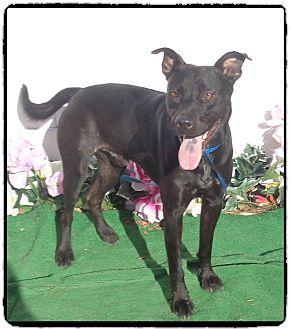 Labrador Retriever Mix Dog for adoption in Marietta, Georgia - ROSCOE