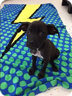 Labrador Retriever/Pit Bull Terrier Mix Puppy for adoption in Saint Augustine, Florida - Boo