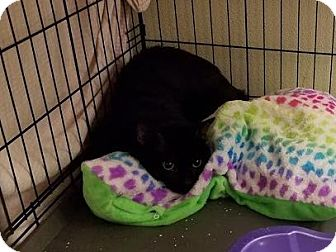 Domestic Shorthair Cat for adoption in Westbury, New York - Tanner