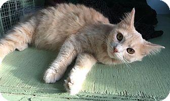 Domestic Mediumhair Kitten for adoption in Savannah, Georgia - Fiona 2