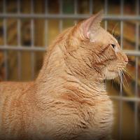 Domestic Shorthair Cat for adoption in Springfield, Pennsylvania - Jack