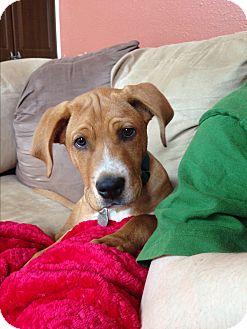 Vizsla Mix Puppy for adoption in Marietta, Georgia - Jax