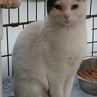 Domestic Shorthair/Domestic Shorthair Mix Cat for adoption in Ashtabula, Ohio - Adel