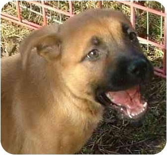 Boxer Mix Puppy for adoption in Fulton, Missouri - Sandy