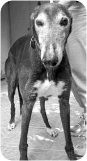 Greyhound Dog for adoption in Tampa, Florida - Flash