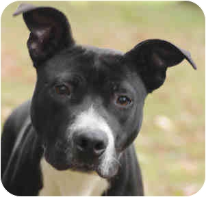 American Pit Bull Terrier Mix Dog for adoption in Chicago, Illinois - Ruger
