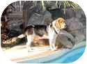 Beagle Mix Dog for adoption in Phoenix, Arizona - Cooper D