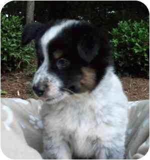 Australian Shepherd/Border Collie Mix Puppy for adoption in Thomasville, North Carolina - Tyler