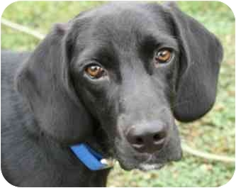 Labrador Retriever/Beagle Mix Puppy for adoption in Salem, New Hampshire - Bogie