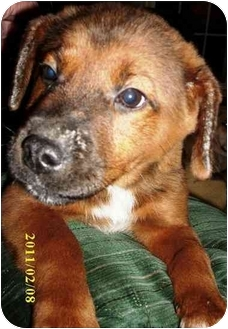 Spaniel (Unknown Type) Mix Puppy for adoption in Jay, Maine - Jake