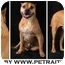 Photo 3 - American Pit Bull Terrier/American Pit Bull Terrier Mix Dog for adoption in Chicago, Illinois - Nate(loverboy!)