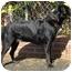 Photo 3 - Labrador Retriever/Rottweiler Mix Dog for adoption in El Segundo, California - Lola