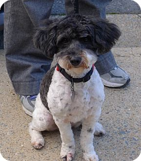 Poodle (Miniature)/Havanese Mix Dog for adoption in Allentown, Pennsylvania - Peluche