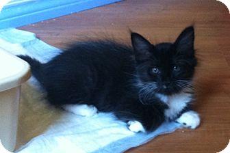 Domestic Mediumhair Kitten for adoption in Tampa, Florida - Bangle