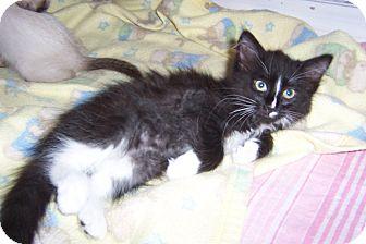 Domestic Mediumhair Kitten for adoption in Pueblo West, Colorado - Too Cute!