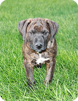 Pit Bull Terrier/Rottweiler Mix Puppy for adoption in Greeley, Colorado - Platte