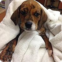 Adopt A Pet :: Hermes - Lancaster, OH