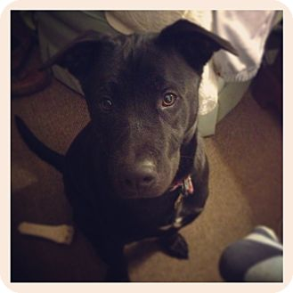 Labrador Retriever/Collie Mix Dog for adoption in Waterbury, Connecticut - BEAR