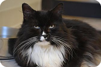 Domestic Longhair Cat for adoption in Broadway, New Jersey - PC