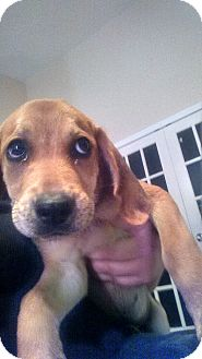 Coonhound Mix Puppy for adoption in Tampa, Florida - Daisy