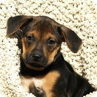 German Shepherd Dog Mix Puppy for adoption in Columbia, Illinois - Ajay