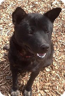 Chow Chow/Cattle Dog Mix Dog for adoption in Madras, Oregon - Coco