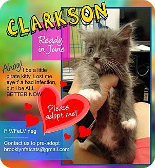 Domestic Shorthair Kitten for adoption in Brooklyn, New York - Clarkson
