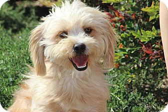 Silky Terrier/Maltese Mix Dog for adoption in Burbank, California - Freddie
