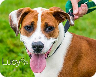 Boxer/Hound (Unknown Type) Mix Dog for adoption in Somerset, Pennsylvania - Lucy