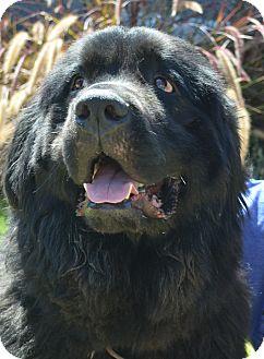 Newfoundland Dog for adoption in Bellflower, California - Austin