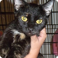 Domestic Shorthair Cat for adoption in Somerset, Kentucky - Tilly-ADOPTED