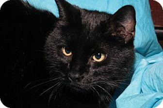 Domestic Shorthair Cat for adoption in Rapid City, South Dakota - Sam