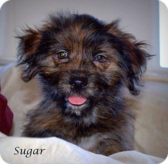 Cocker Spaniel Mix Puppy for adoption in Yuba City, California - Sugar