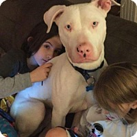 Dogo Argentino Dog for adoption in Brooklyn, New York - Simon