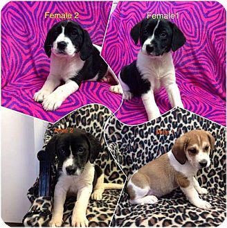 Curly-Coated Retriever/Hound (Unknown Type) Mix Puppy for adoption in Patterson, New York - Alice