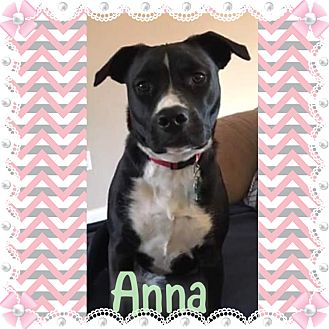Bulldog/Boxer Mix Puppy for adoption in KITTERY, Maine - ANNA