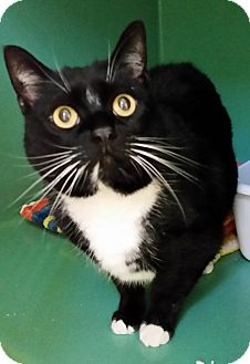 Domestic Shorthair Cat for adoption in Franklin, New Hampshire - Murphy