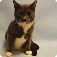 Domestic Shorthair Cat for adoption in New York, New York - Persia