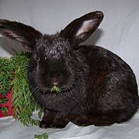 Adopt A Pet :: Ivy - Alexandria, VA