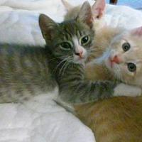 Adopt A Pet :: 4 KITTEN'S!!! courtesy post - New Smyrna Beach, FL