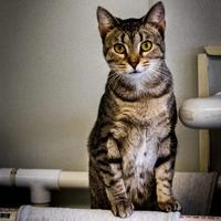 Adopt A Pet :: Kibby - Fort Dodge, IA