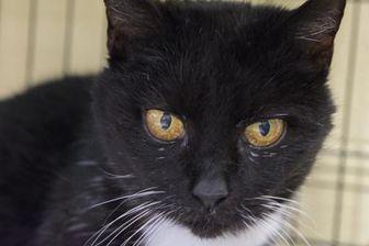 Domestic Shorthair/Domestic Shorthair Mix Cat for adoption in Richmond, Virginia - Nimona