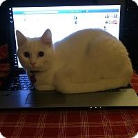 Domestic Mediumhair Cat for adoption in Moon Twp, Pennsylvania - Phobe