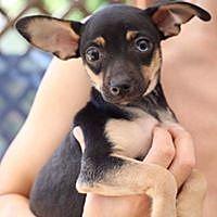Adopt A Pet :: Elvis - courtesy listing - Westminster, CO