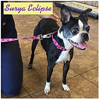 "Adopt A Pet :: SURYA ECLIPSE AKA ""Sunny"" - Various Cities in the entire Southeast, TN"
