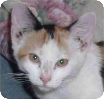 Calico Kitten for adoption in Muskogee, Oklahoma - Josey